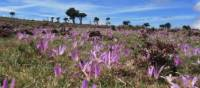 Crocuses on Camino | Andreas Holland