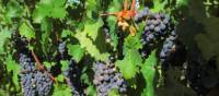 Grapes on vines in the Rioja wine region, Spain | Andreas Holland