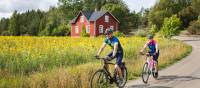 Cyclists enjoying the sunflowers as they cycle in the Turku Archipelago