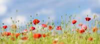 Poppies on the Western Front fields