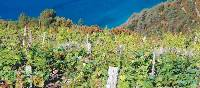 The hills above the Cinque Terre are covered with grape vines | Rachel Imber