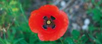 Poppies grow wild along the trails of the Cinque Terre | Rachel Imber
