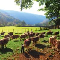 Herdwick Sheep, Stonethwaite | John Millen
