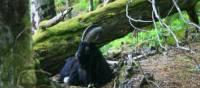 Feral Goat at Inversnaid, Scotland