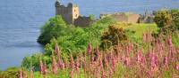 Urquhart Castle through Foxgloves, Great Glen Way