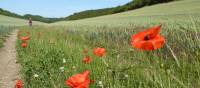 Poppies on the trail | Andrew Bowden