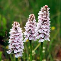 Spotted Orchids, West Highland Way, Scotland