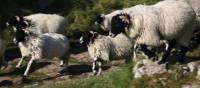 Swale dale sheep