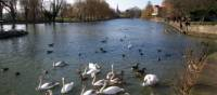 Swans on the river Avon, near the Swan Theatre.