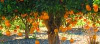 Orange trees at Kato Akourdhalia | John Millen