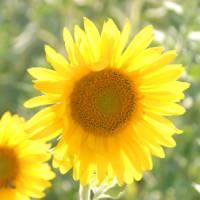Sun flowers in Luberon, France