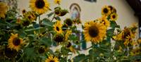Sunflowers on King Ludwig's Way | Will Copestake