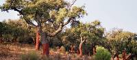 Cork Trees | Lucy y Angel