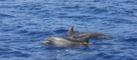 Bottle-nosed Dolphins off Tazacorte | John Millen